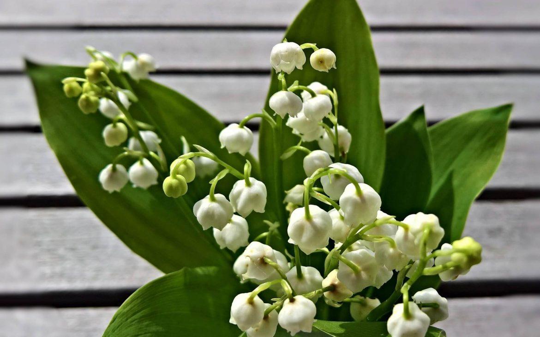 İnci çiçeği nedir?