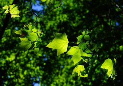 Çınar yaprağı kullanımı ve faydaları